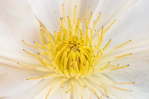 Снимок крупным планом красивого цветка меластома с белыми лепестками