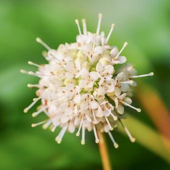 いくつかの朝露が残っているフィールドに咲く美しい野生の花のクローズアップショット