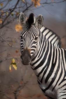 Снимок крупным планом красивой зебры
