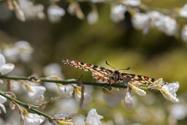 Снимок красивой бабочки zerynthia rumina на цветке крупным планом