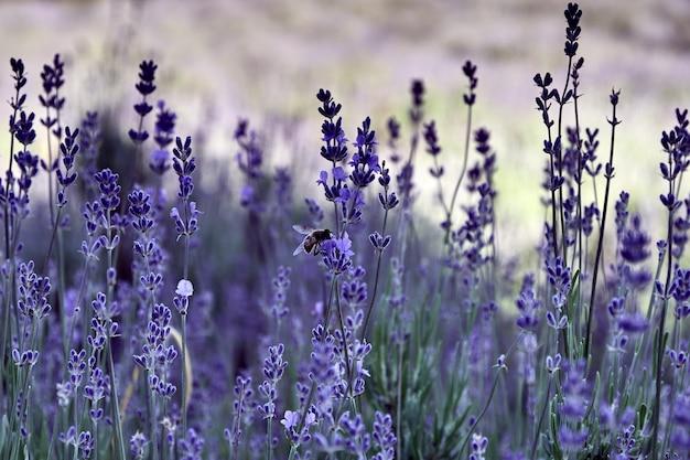Крупным планом выстрел пчелы на фиолетовый цветок