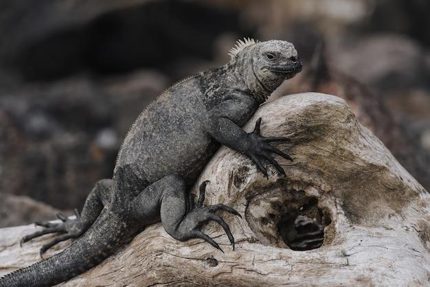 木の上の大きな灰色のイグアナのクローズアップショット