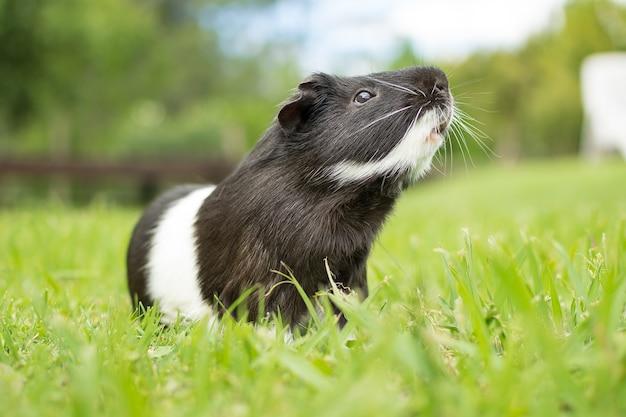 草の上の黒と白のモルモットのクローズアップショット 無料写真