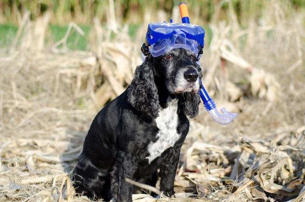 ダイビングマスクとトウモロコシ畑に座っている黒いコッカースパニエル犬のクローズアップショット