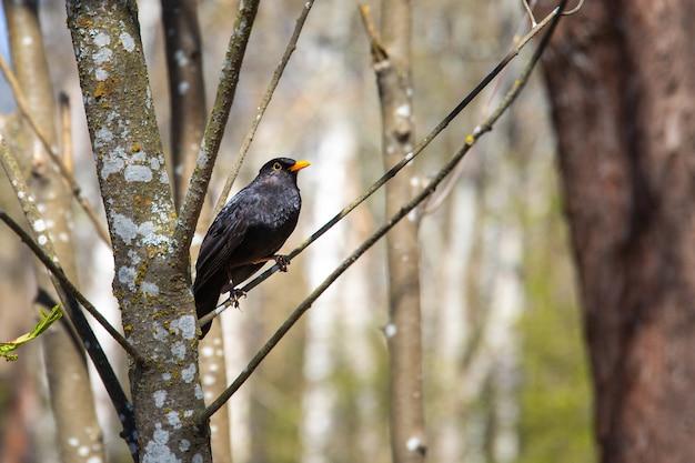 ぼやけた背景と木の枝に腰掛けてクロウタドリのクローズアップショット