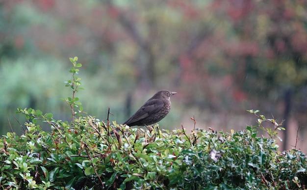 ベリーの茂みに座っているクロウタドリのクローズアップショット