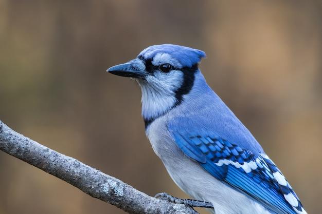 ぼやけた背景の枝に腰掛けて青いジェイのクローズアップショット