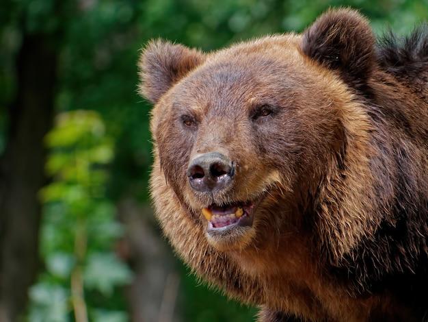 Снимок крупным планом бурого медведя в лесу