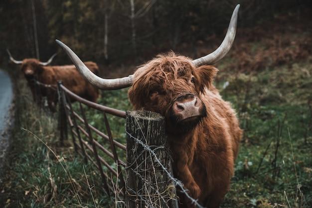 Крупным планом выстрел коричневого быка на сельскохозяйственных угодьях в дневное время