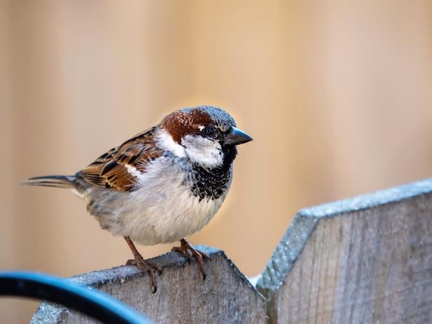 木製の柵の上に腰掛けて茶色のフィンチ野生動物の鳥のクローズアップショット