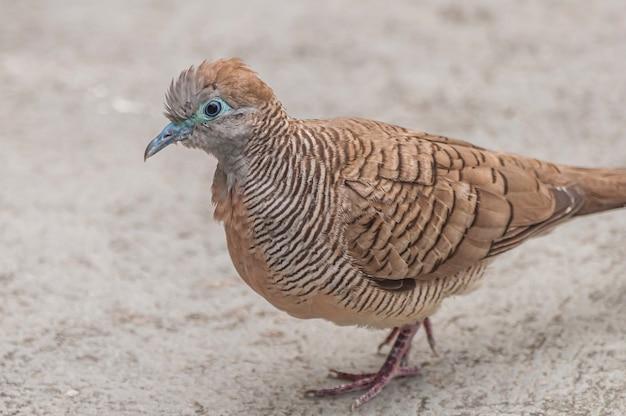 Крупным планом выстрел коричневого голубя, идущего по бетонной земле