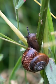 緑の芝生の上に登ろうとしている茶色のカタツムリのクローズアップショット