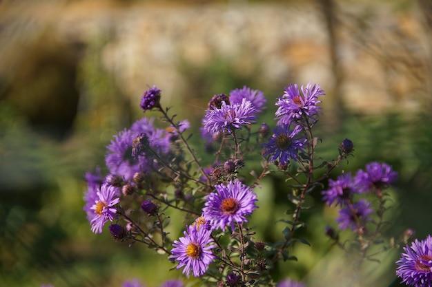 紫のニューイングランドのアスターの花の茂みのクローズアップショット