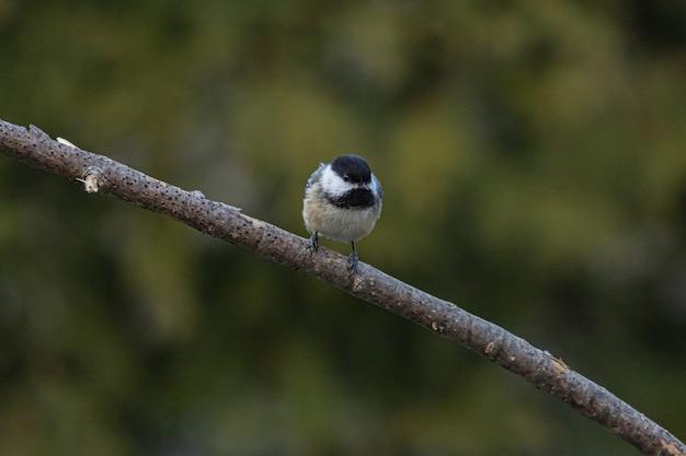 나뭇 가지에 쉬고 캐롤라이나 총칭의 근접 촬영 샷