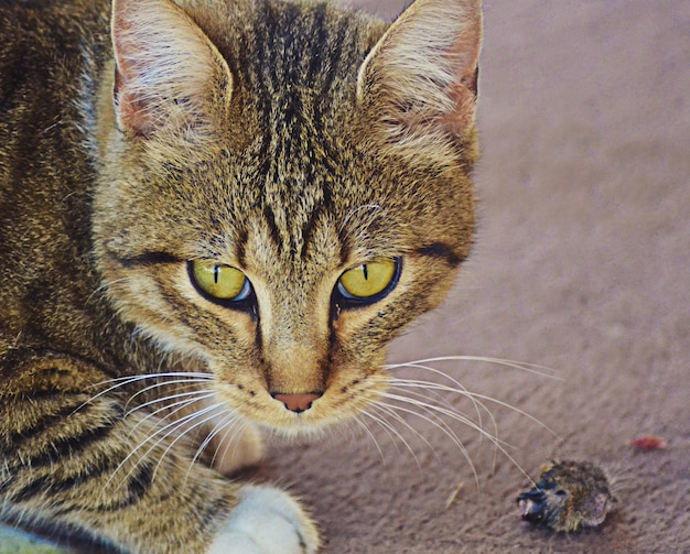 緑の目と怒った表情の猫のクローズアップショット