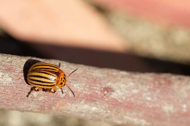 나무 표면에 콜로라도 감자 딱정벌레의 근접 촬영 샷