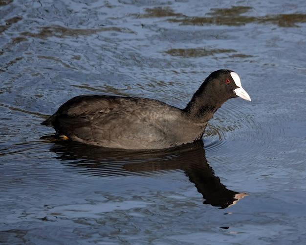 池で泳いでいるオオバンのクローズアップショット