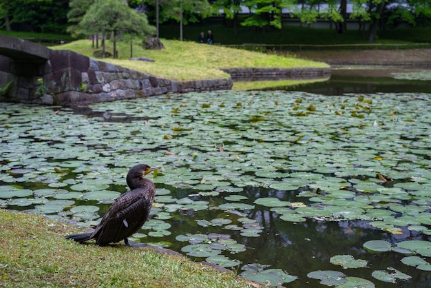 東京都小石川植物園の池の近くの鵜のクローズアップショット