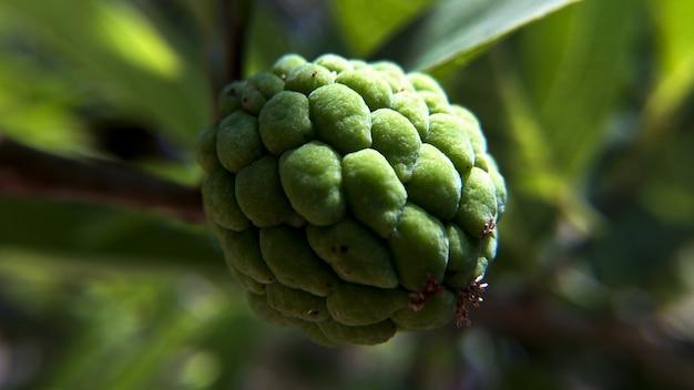 Крупным планом снимок заварного яблока, растущего на дереве