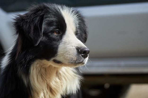 귀여운 보더 콜리 강아지의 근접 촬영 샷