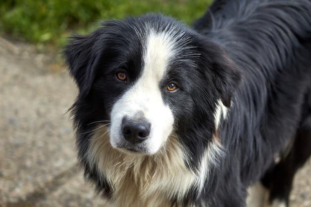Снимок крупным планом милой собаки бордер-колли