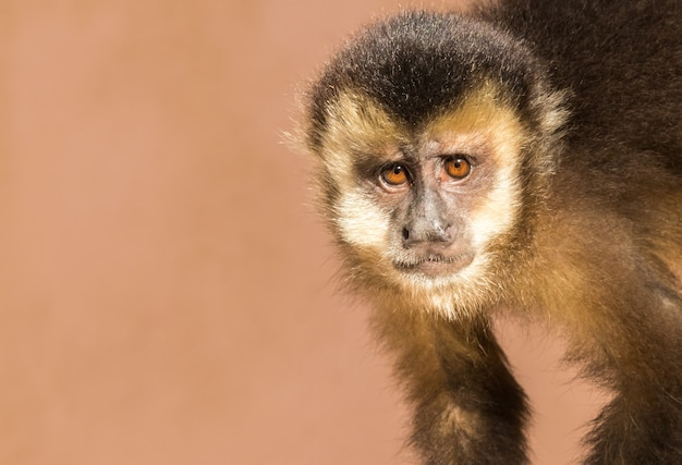 Снимок милой обезьяны капуцин крупным планом