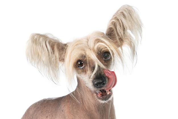 白い表面に分離されたかわいいチャイニーズクレステッド犬のクローズアップショット