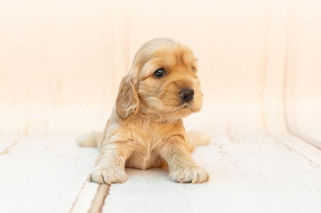흰색 표면에 긴 귀가 앉아 있는 귀여운 코커 스패니얼 강아지의 클로즈업 샷