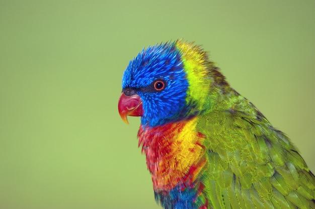 Крупным планом выстрелил милый красочный попугай на зеленом фоне