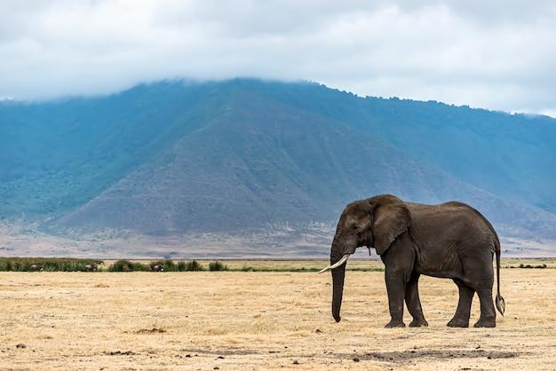 荒野の乾いた草の上を歩くかわいい象のクローズアップショット
