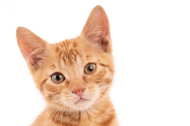 白い壁に隔離されたカメラを見つめてかわいい生姜子猫のクローズアップショット