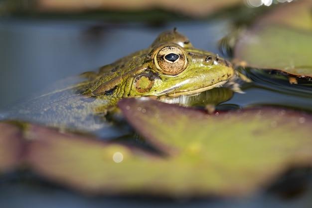 池で泳いでいる大きな目を持つかわいい緑のカエルのクローズアップショット