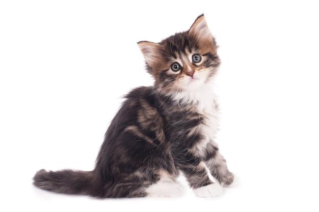 白い背景で隔離のかわいい灰色の子猫のクローズアップショット