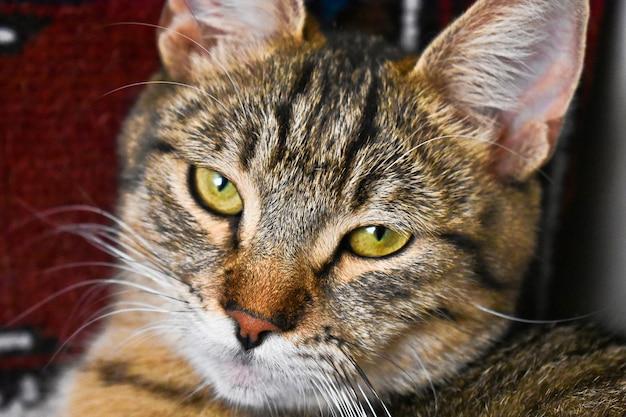 美しい緑色の目でかわいい眠そうな猫のクローズアップショット