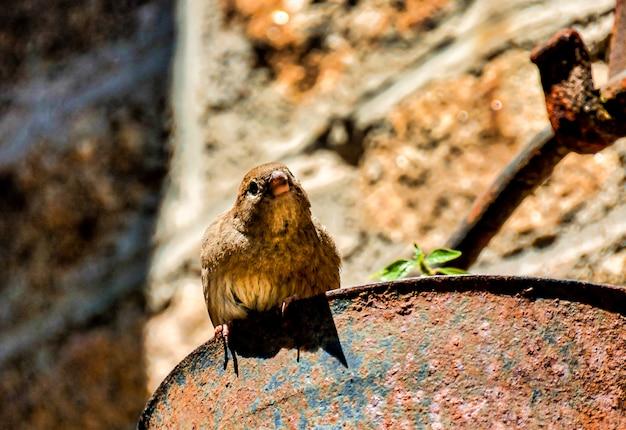 スペイン、カナリア諸島のさびた金属の上に腰掛けてかわいいスズメのクローズアップショット
