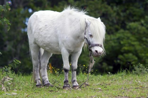 緑の芝生に立っているかわいい白い子馬のクローズアップショット