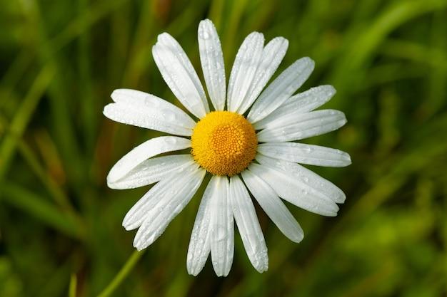 ぼやけたデイジーの花のクローズアップショット