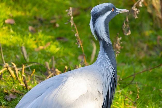 目の隅から垂れ下がっている縞模様の白い羽を持つアネハヅルのクローズアップショット