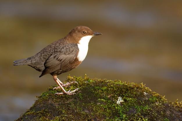 カワガラスの鳥のクローズアップショット