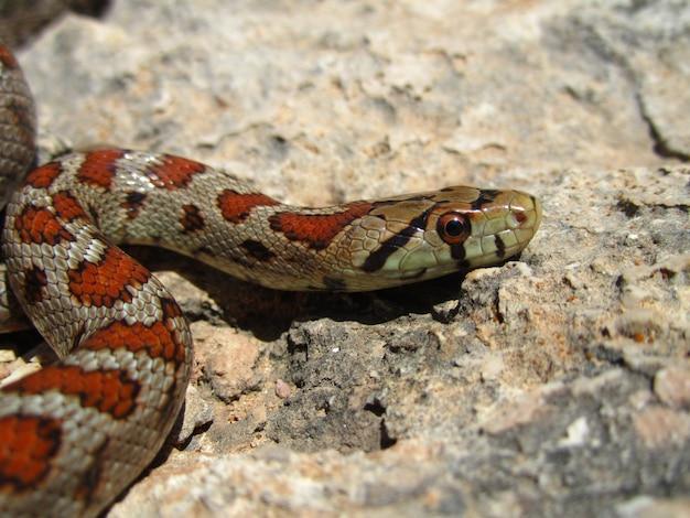 Крупным планом снимок европейской крысиной змеи, ползающей по скале
