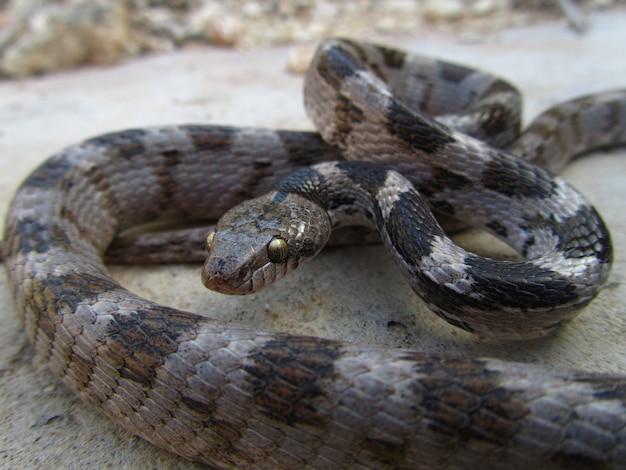 몰타에서 땅에 기어가는 유럽 수산 고양이 뱀의 근접 촬영 샷