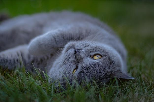 庭の緑の草の上に横たわっている派手な猫のクローズアップショット