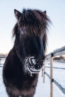 북부 스웨덴의 눈 덮인 시골에서 산책하는 농장 동물의 근접 촬영 샷