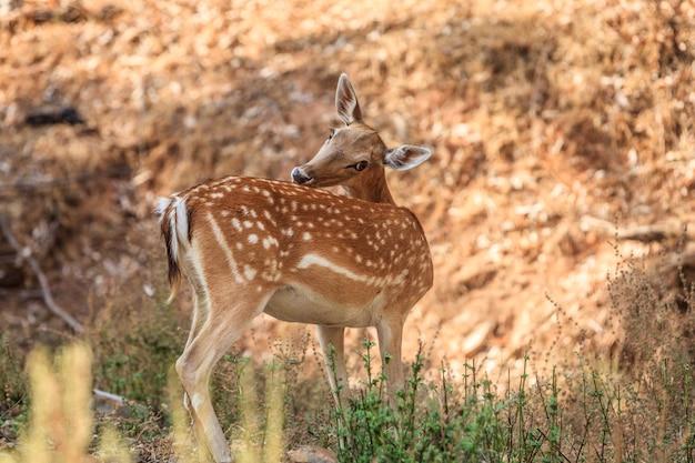 Крупным планом выстрел женского оленя в лесу