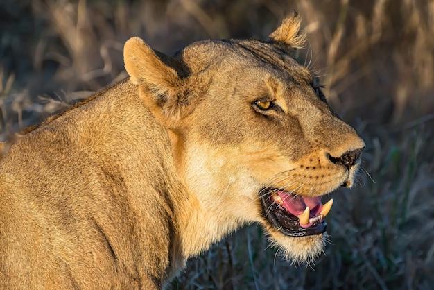 Крупным планом выстрел женского льва