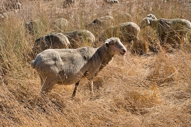 日中の黄色い草のフィールドで羊の群れのクローズアップショット