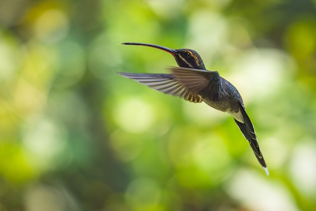 Снимок крупным планом летающей колибри с размытым зеленым