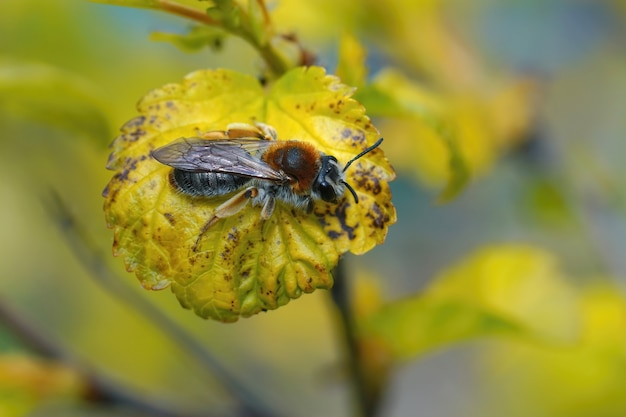 노란 잎에 갓 나온 암컷 붉은꼬리 채광벌인 andrena haemorrhoa의 클로즈업 샷