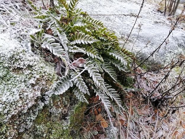 ノルウェー、ラルヴィークの森の凍った植物のクローズアップショット