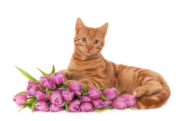 Крупным планом рыжий кот лежит рядом с букетом фиолетовых тюльпанов на белом фоне